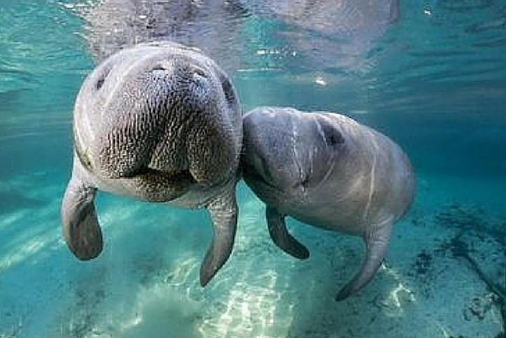 Resized-Manatees.png